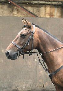 Portrait of Flynn a chestnut horse